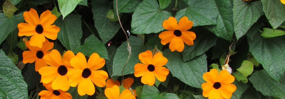 Black-Eyed Susan Vine London ON