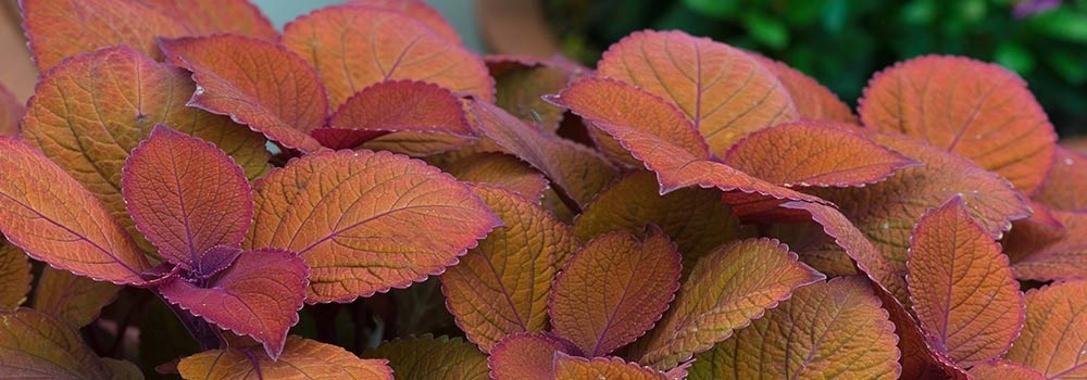 Sun Coleus London ON