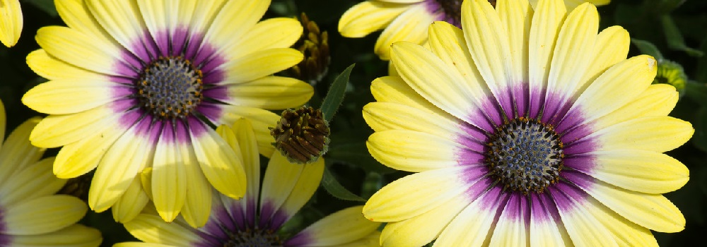 Osteospermum London ON