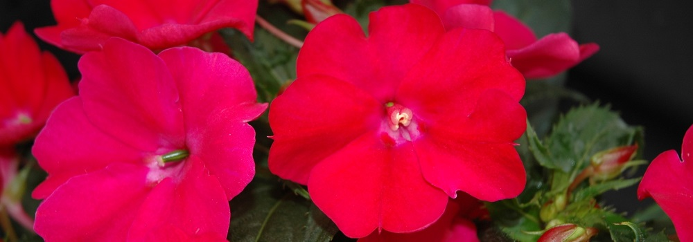 Sunpatiens London ON