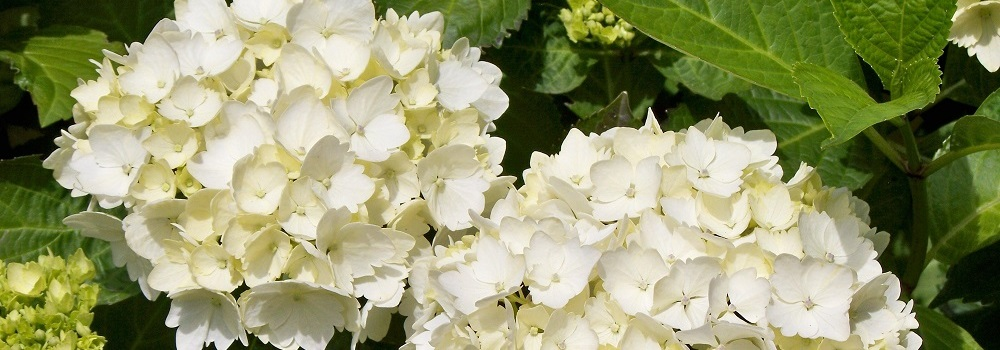 Interest For Shade - Blushing Bride Hydrangea