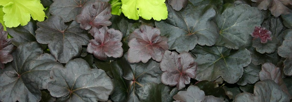 Interest For Shade - Obsidian Coral Bells