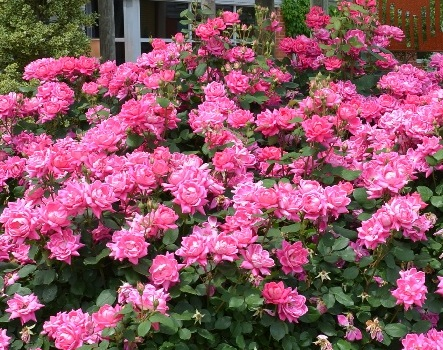 Wondering what type of rosebush to buy
