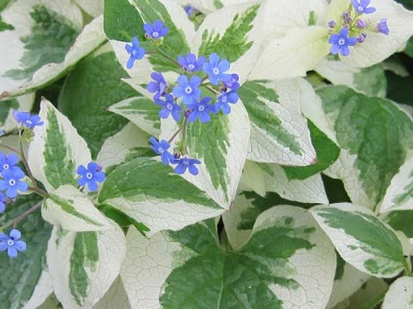 Interest For Shade Variegated Brunnera