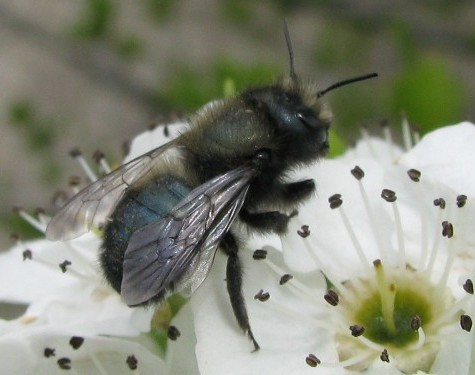 Mason bees are a great spring pollinator