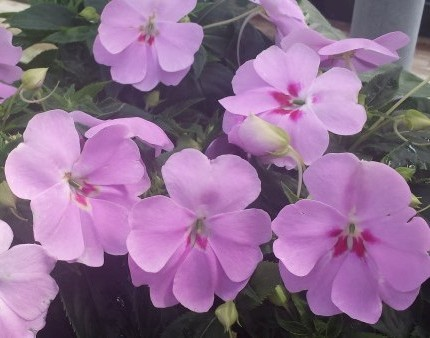 impatiens at Van Luyk's