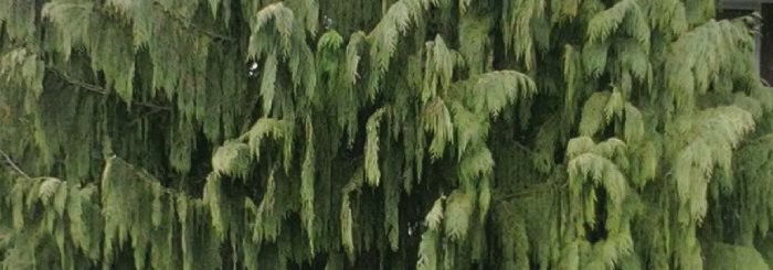 spooky-plants-false-cypress-weeping-nootka