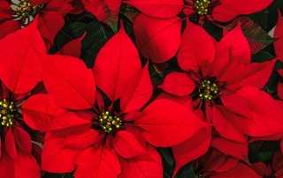 Poinsettia Pitfalls